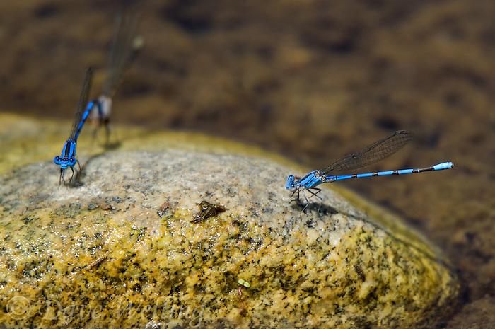 338430008 a wild male california dancer argia argioides and a copulating or in tandem pair of vivid dancers argia vivida share a rock perch in the frenchmans flat area of piru creek in los angeles county california united states