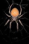 Orb Weaver Spider, Family Araneidae, Manu Peru, on web, night, jungle, amazon, orange hairy abdomen, yellow legs, .South America....