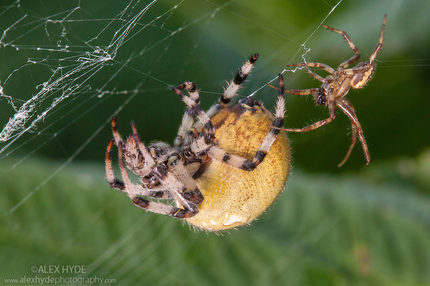 Male Four-spot Orb Weaver Spider {Araneus quadratus} approaching female in her web to mate. The huge size difference between the male (right) and female (left) can clearly be seen. Derbyshire, UK. September.