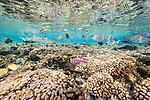 Fakarava Atoll, Tuamotu Archipelago, French Polynesia; an aggregation of gray drummer, sixbar wrasse, butterflyfish, surgeonfish and blacktip reef sharks reflect in the surface of the shallow turquoise water over the coral reef