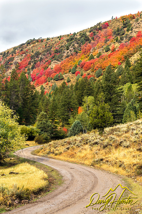 Road to Autumn, Swan Valley Idaho. The mountain maples of the Snake River range are the first leaves of autumn to treat us to the festival of color to come.  On lucky years the reds of the maples will overlap the yellows of the aspen.