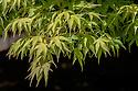 Acer palmatum 'Katsura', late April.