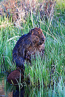 The North American Beaver (Castor canadensis) is native to North America and is usually referred to simply as a beaver. Beavers are mainly active at night. They are excellent swimmers but are more vulnerable on land and tend to remain in the water as much as possible. They are able to remain submerged for up to 15 minutes. They use their flat, scaly tail both to signal danger by slapping the surface of the water and as a location for fat storage.