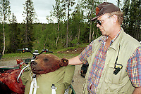 "opsynsmann Sigvart Totland, Lierne, med radiomerket hannbjørn (""Sigvart"") felt i Portfjellet av martin Haugen..fargeneg. Bear hunting in Mid-Norway. The first bear shot in Nord-Trøndelag, Mid-Norway for decades. Shot because it was killing sheep."