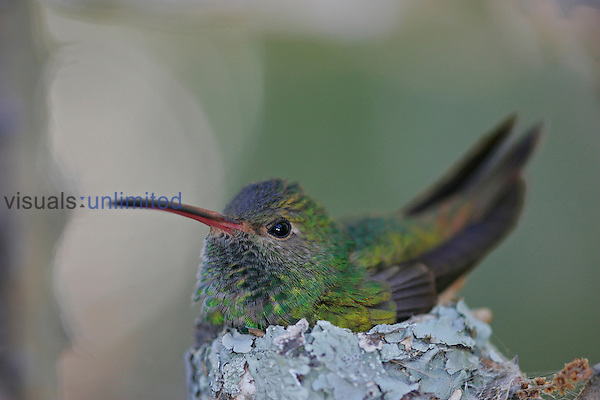 Buff-bellied Hummingbird on its lichen-covered nest, Texas, USA.