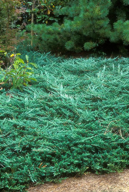 Juniperus Horizontalis Wiltonii Blue Rug Plant