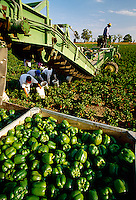Agriculture - Green Bell peppers being harvested / near Lodi, California, USA.