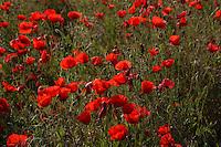 Campo di papaveri. Field of poppies.....