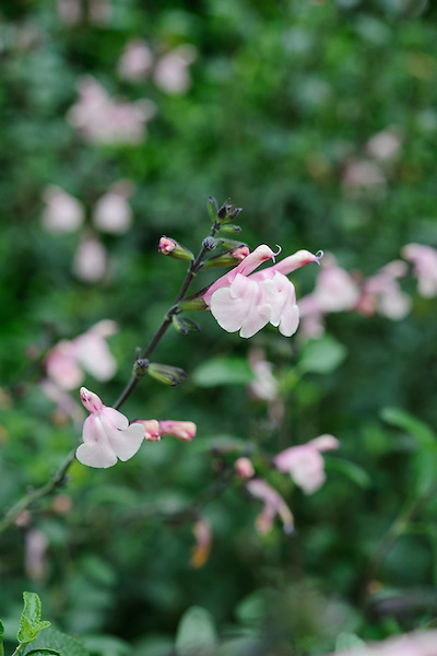 Salvia greggii 'Stormy Pink'