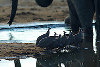 Helmeted guineafowl (numida meleagris) drinking among the elephants (loxodonta africana) at the Pump Pan manmade waterhole.<br /> Savuti, Botswana.<br /> September 2007.