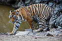 India, Rajasthan, Ranthambhore National Park, 18 months old Bengal tiger cub near water hole