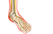 An anterolateral view (right side) of the nerve supply of the foot. The surface anatomy of the body is semi-transparent and tinted red. Royalty Free