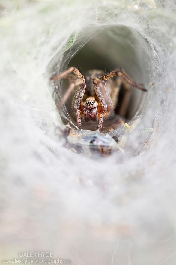 Labyrinth spider {Agelena labyrinthica} waiting in funnel web for prey. Nordtirol, Tirol, Austrian Alps, Austria, 1700 metres altitude, July.