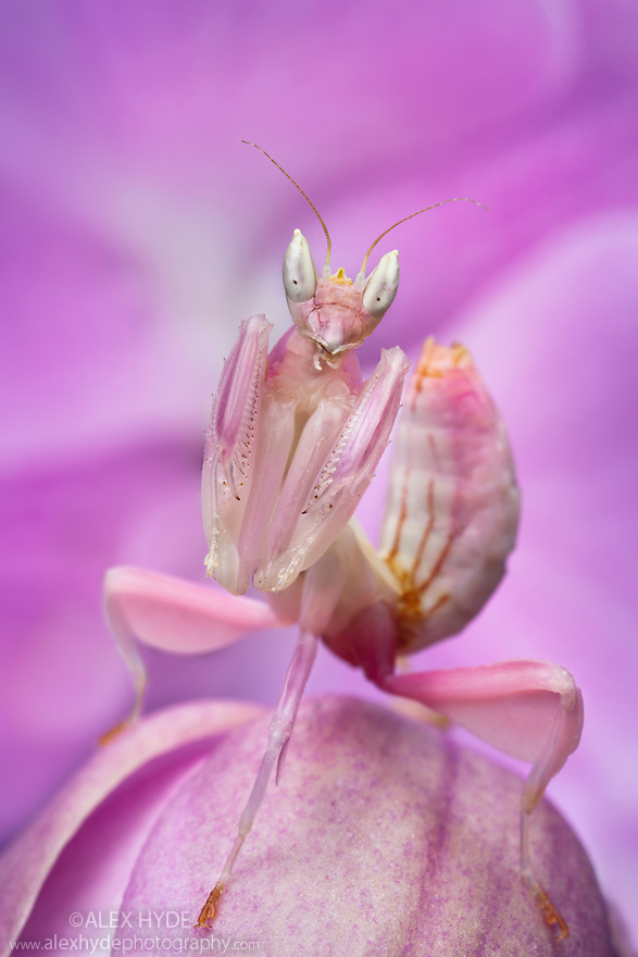 Malaysian Orchid Mantis {Hymenopus coronatus} showing pink colouration camouflaged on an orchid. Captive. Originating from Malaysia.
