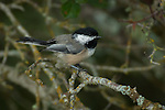 Black-capped Chickadee (poecile atricapilla) in the woods