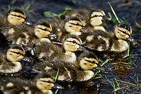 Baby Mottled Ducks