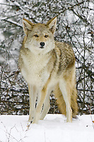 Coyote standing in the snow - CA
