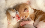 Domestic kittens - sleeping by mother, drunk from her milk, ginger and white, 1-2 weeks old, nurturing, caring, sweet