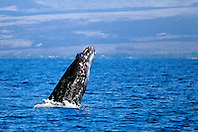 humpback whale calf breaching, Megaptera novaeangliae, Big Island, Hawaii, Pacific Ocean
