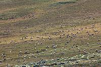 Western arctic caribou herd migrates in the Utukok uplands, National Petroleum Reserve Alaska, Arctic, Alaska.