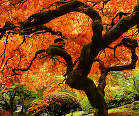 Famous Japanese Maple in the Portland Japanese Garden with fall colors in leaves of bright red and orange with leaves on the ground