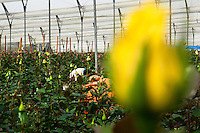 A worker picks the yellow roses at a flower farm in Cayambe, Ecuador, 23 June 2010. South American countries (Colombia and Ecuador) are world leaders in cut flower industry. The advantage of the moderate sunny climate, very cheap labor force in combination with the absence of social laws and environmental regulations have created perfect conditions for the cut flower production. Flower growing is very fragile and necessarily depends on irrigation and chemical maintenance, provided by highly toxic pesticides. About 50.000 workers in Ecuador, working mainly for living minimum wage, keep the floral industry going and saturate the market generated by consumerist culture the US, Canada and Europe.