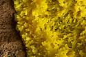 Dog Vomit / Scrambled Egg Slime Mould {Fuligo septica var. septica}, a species of plasmodial slime mould (Myxomycetes class). Found on decaying log. Peak District National Park, Derbyshire, UK. September.