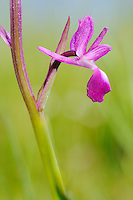 Long-spurred Orchid flower (Orchis longicurnu), Italy