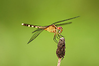 340350013 a wild female band-winged dragonlet erythrodiplax umbrata  perches on a flower pod in hornsby bend travis county texas