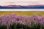 Wildflowers at Lake Tahoe, California