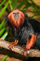 Golden Headed Lion Tamarin (Leontopithecus chrysomelas) on a branch. Captivity