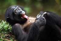 Bonobo male juvenile aged 4 years lying on his back with tongue extended (Pan paniscus), Lola Ya Bonobo Sanctuary, Democratic Republic of Congo.