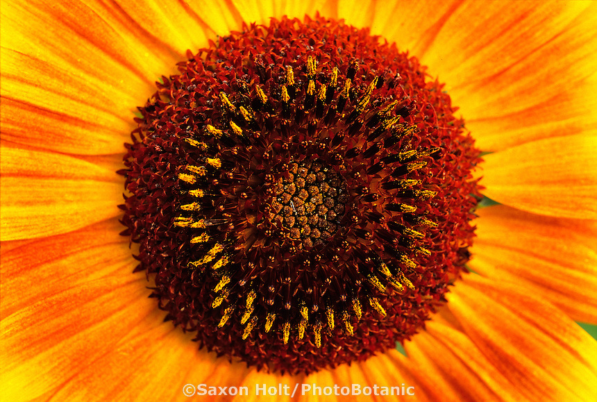 Sunflower(Helianthus) flower close-up in circle pattern