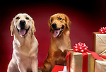 Two Golden Retrievers with Christmas gifts sitting side by side and looking at the camera. Isolated on red background. Brody and China - Gray Valley Kennels - Toronto.