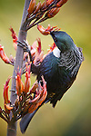 A Tui probes  Flax flowers in search of nectar, on Tiritiri Matangi Island in the Hauraki Gulf near Auckland City, New Zealand..One of the three endemic species of New Zealand honeyeaters, the others being the Stitchbird and Bellbird, the Tui, also known as the Parson bird, is very intelligent and has the ability to mimic sounds much like parrots..Having 2 voice boxes allows the Tui to sing 2 different notes at the same time, with some of them being beyond human hearing.