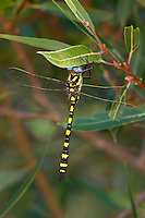 389970002 a wild pacific spiketail cordulegaster dorsalis the great basin subspecies perches on a leafy branch in inyo county california