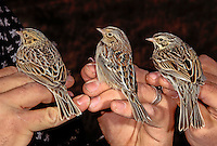 Comparison of three common winter grassland sparrows of the southwestern USA. Left to right: Baird's Sparrow (Ammodramus bairdii), Grasshopper Sparrow (Ammodramus savannarum), and Savannah Sparrow (Passerculus sandwichensis).