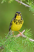 A Canada Warbler (Wilsonia canadensis) perched on a branch, Ontario, Canada.