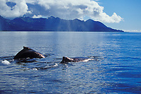 Humpback whale, Prince William Sound, Alaska