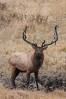 Bull elk during the autumn rut at wallow