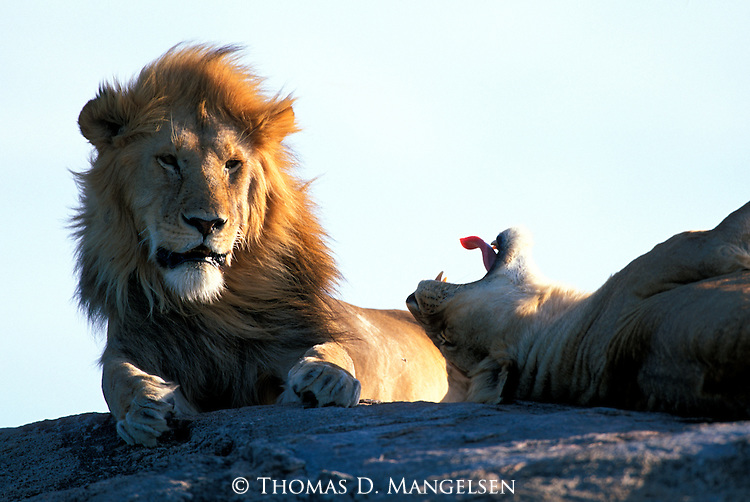A lion and lioness lay on top of a rock in Serengeti National Park, Tanzania.