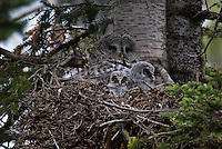 Gray Gray owl female with chicks that are about 10 days old.