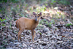 Indian Muntjac or Barking Deer, Muntiacus muntjac, in woodland, Corbett National Park, Uttarakhand, Northern India.India....