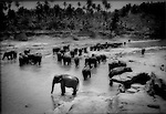 The herd at Pinnawala Elephant  Orphanage, Sri Lanka..Established in 1975 by the Sri Lankan government, Pinnawala provides sanctuary to.elephants abandoned by wild herds. Legendary for their heroic efforts to save family members,.the trauma of habitat loss and civil war have overcome elephant's strong familial ties.  Wild.herds have been forced to abandon young and injured members of their herds as never before.and move on to relative safety within their evaporating habitats.  The Pinnawala Elephant.Orphanage has the capacity to provide shelter to about 50 orphaned and injured elephants..