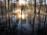 Misty dawn in a Bald Cypress wetland, Cheraw State Par, Cheraw, South Carolina