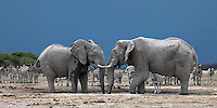 Two African Elephant Bulls (Loxodonta Africana) at a waterhole, surrounded by a herd of zebra.
