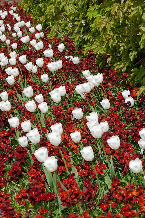 White tulips 'Purissima' and red wallflowers (Erysimum cheiri) 'Vulcan', late April.