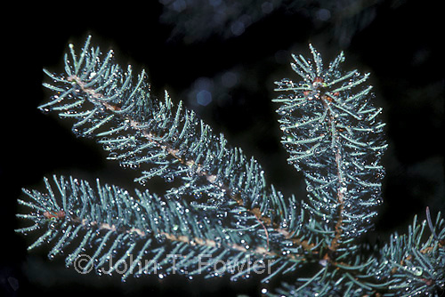 White spruce  twig, Pices glauca<br />