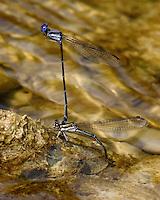 Like dragonflies, damselflies mate while flying.  Most female damselflies dip their abdomens into water to deposit eggs. Lampasas River, Texas.