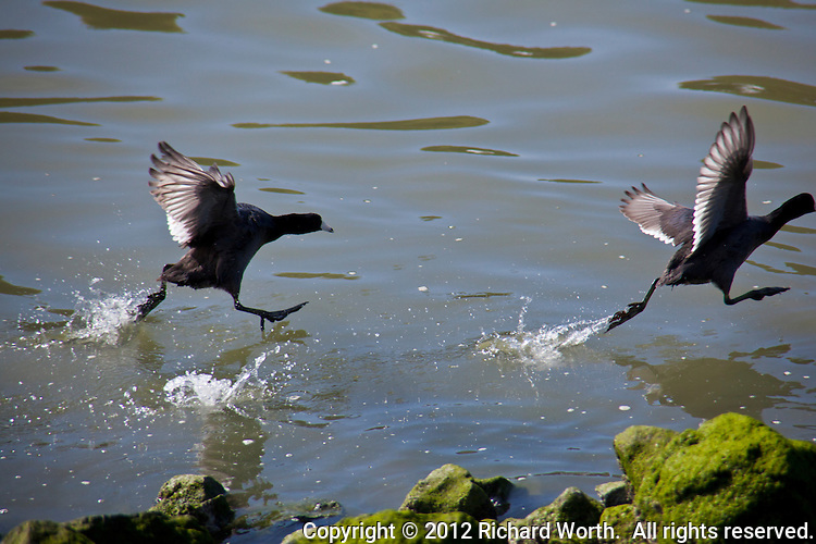 Race ON!  American Coots touch down then race to take-off at the San Leandro Marina, San Leandro, California.